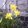 Mini yellow daffodils  (narcissus)