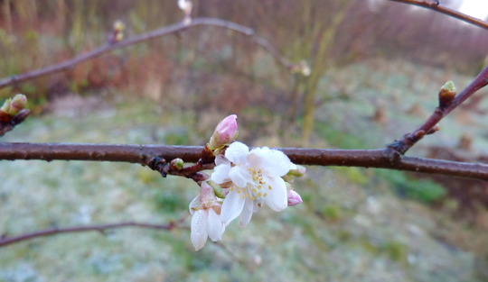 Prunus subhirtella Autumnalis (Prunus x subhirtella 'Autumnalis')
