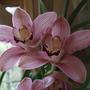 Cymbidium flowers (Cymbidium)