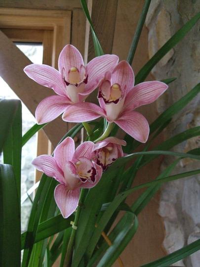Cymbidium flower spike (Cymbidium)