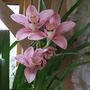 Cymbidium flower spike (Cymbidium)