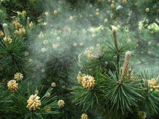 Conifer cones male pollen wind pollination.