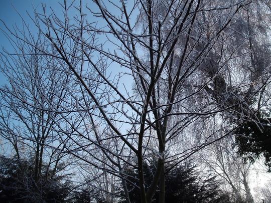 Frost this morning on 2 Indigoferas