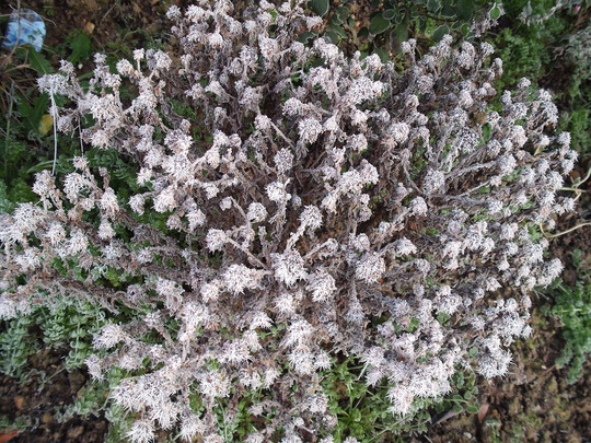 Frosted Aster