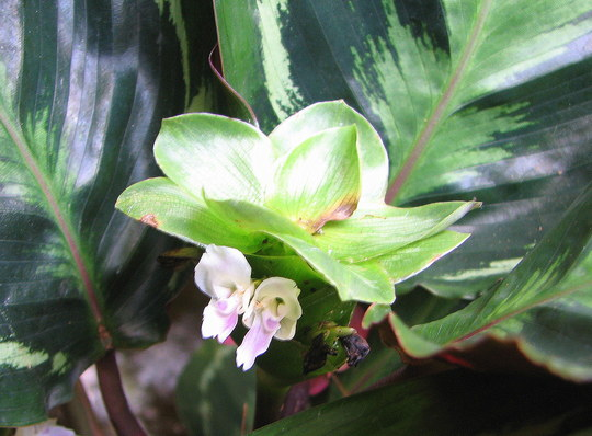 Flower of the Calathea medallion  (Calathea veitchiana 'Medallion')
