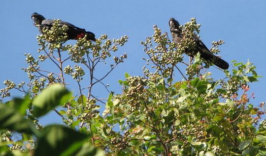 Red-tailed Black Cockatoos feasting on Cadaghi gum nuts.