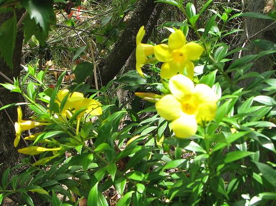 Early summer downunder:  Allamanda cathartica in bloom (Allamanda cathartica)