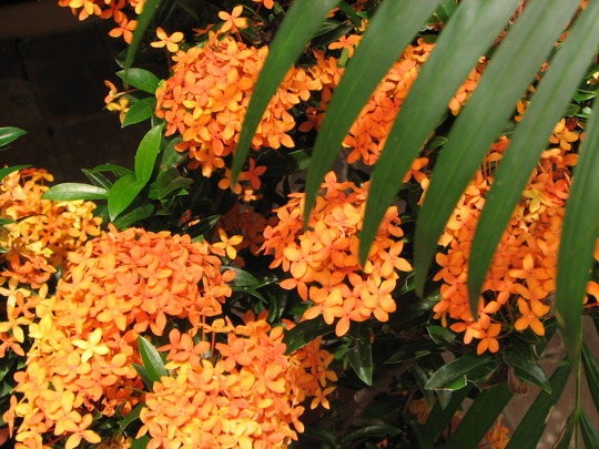 Early summer downunder:  Ixora 'Twilight Glow' in bloom. (Ixora coccinea (Flame of the Wood))