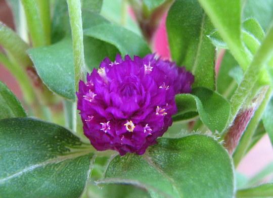 Early summer downunder:  Gomphrena globosa in flower (Gomphrena globosa (Globe Amaranth Q Lilac))