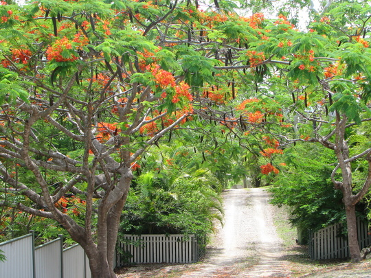 Early summer downunder:  Delonix regias in bloom at my front gate (Delonix regia (Acacia Roja))