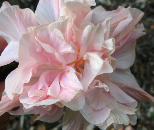"Hibiscus cultivar ""Enid Lewis "" semi double  Photo 2 (Hibiscus cultivar ""Enid Lewis ""semi .double.)"