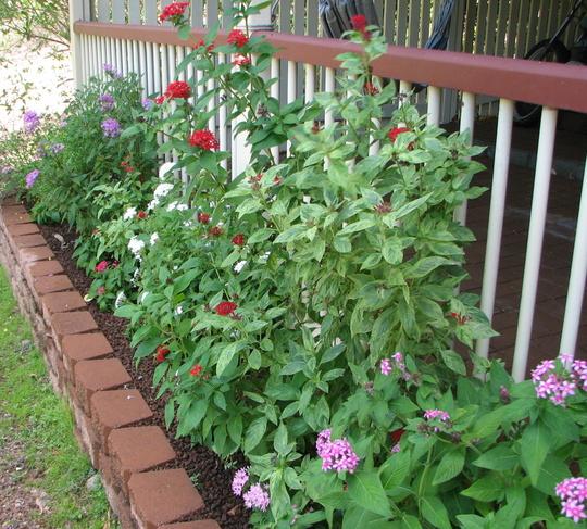 Early summer downunder:  Pentas in bloom (Pentas lanceolata)