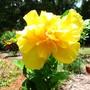 "Hibiscus cultivar "" Full Moon "" semi double (Hibiscus cultivar ""Full Moon "" semi double)"