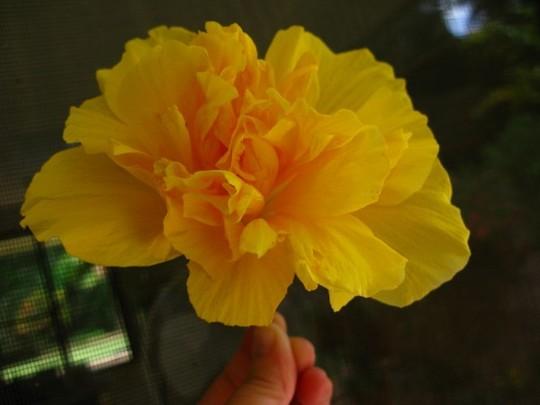 "Hibiscus cultivar ""Full Moon "" semi double (Hibiscus cultivar ""Full Moon "" semi. double)"