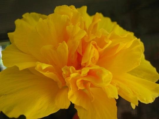"Hibiscus cultivar ""Full Moon"" semi double (Hibiscus cultivar ""Full Moon"" semi double)"