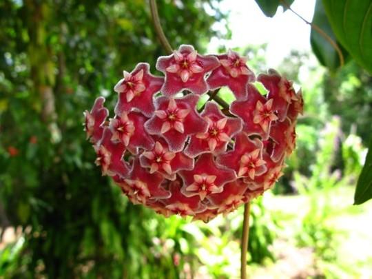 Hoya carnosa variant (Hoya carnosa variant)