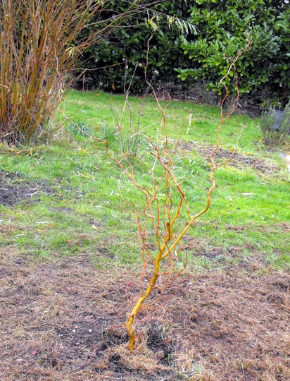 Newly Planted Twisted Salix (Salix babylonica (Contorted willow))