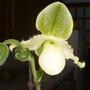 Paphiopedilum Orchid (Paphiopedilum Orchid)