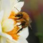 Bee in a dahlia