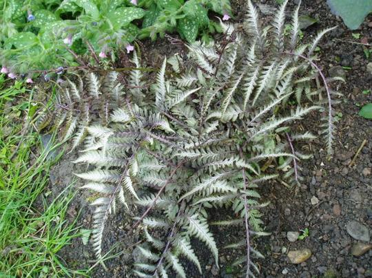 Athyrium (japanese painted fern) (Athyrium niponicum)