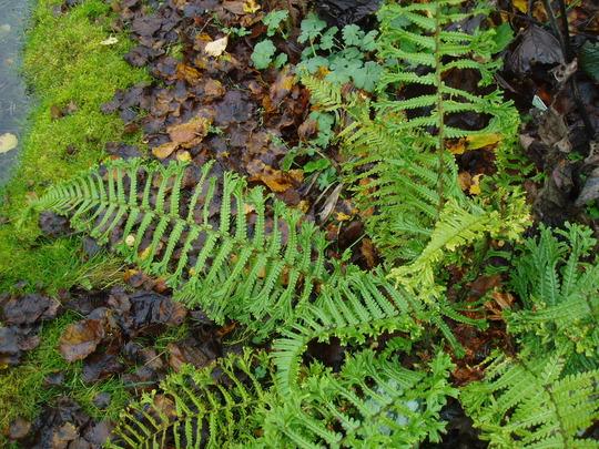 Dryopteris affinis cristata 'The King' (Dryopteris)