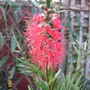 Callistemon 12th. Dec. 2009.