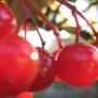 viburnum berries..