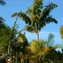 Wodveitchia (Wodyetia bifurcata X Veitchia arecina) - Foxy Lady Palm (Wodveitchia (Wodyetia bifurcata X Veitchia arecina) - Foxy Lady Palm)