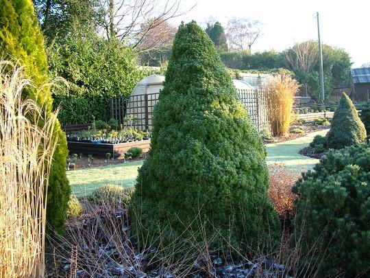 Picea glauca var. albertiana 'Conica' (common name; White spruce)