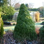 Picea glauca var. albertiana 'Conica' (common name; White spruce)