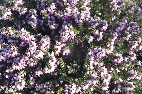 """Heath flowers, close up (Erica carnea """"pirbright rose"""")"""