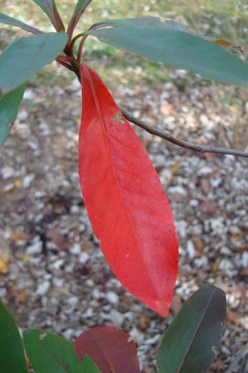 Schimlinia floribunda