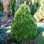 Chamaecyparis Lawsoniana 'Aurea Densa' (common name; Lawson cypress.)