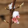 Viburnum x Bodnantese 'Dawn' (Viburnum x Bodnantense)