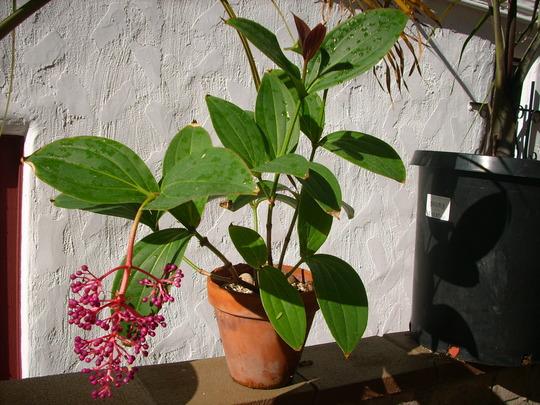 Medinilla cummingii (myriantha) - Malaysian Orchid (Medinilla cummingii - Malaysian Orchid)