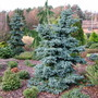 Two blue spruces