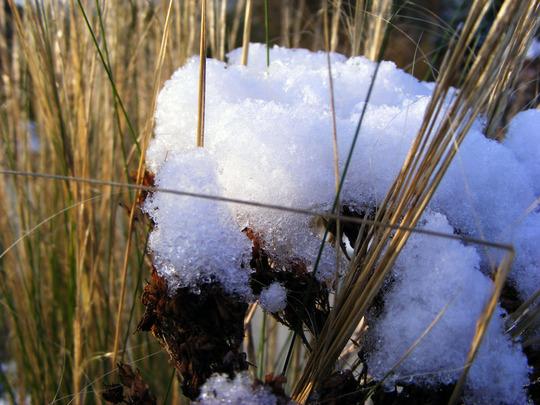 looking good in December (Sedum spectabile (Ice plant))