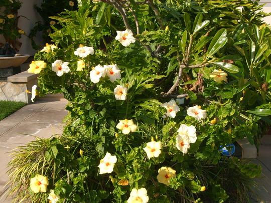 Hibiscus rosa-sinensis - Pastel Yellow Hibiscus Flowers (Hibiscus rosa-sinensis - Pastel Yellow Hibiscus Flowers)