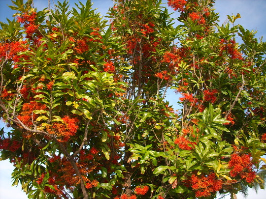 Stenocarpus sinuatus - Firewheel Tree on Coronado Island (Stenocarpus sinuatus - Firewheel Tree)