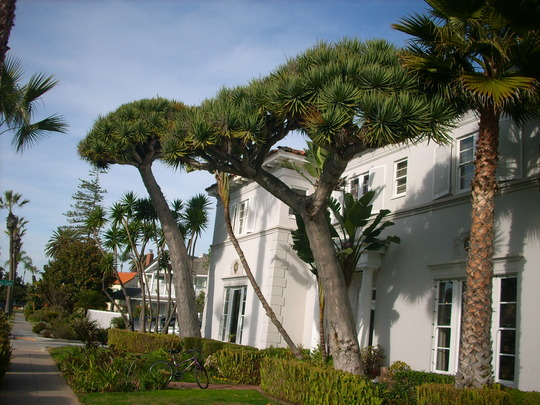 Dracaena draco - Dragon Trees on Coronado Island (Dracaena draco - Dragon Tree)