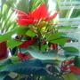 Poinsettia in kitchen 2009-12-19 002
