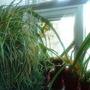 Spider plant & Amaryllis seedlings in kitchen 2009-12-19 (Chlorophytum comosum)