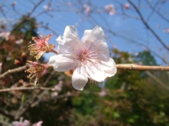 Nidozaki Sakura (Cherry blossom)