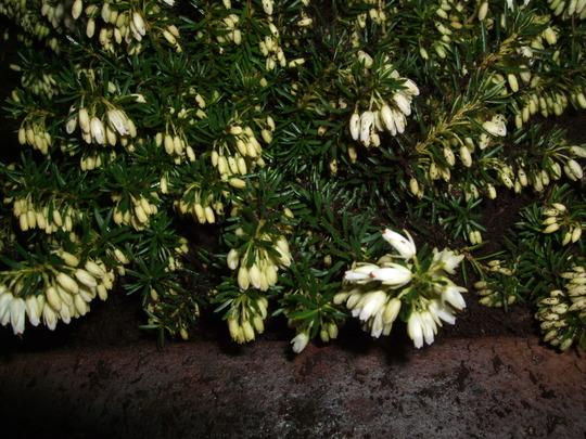 Erica carnea 'Snowcap' (Erica carnea (Winter heath))