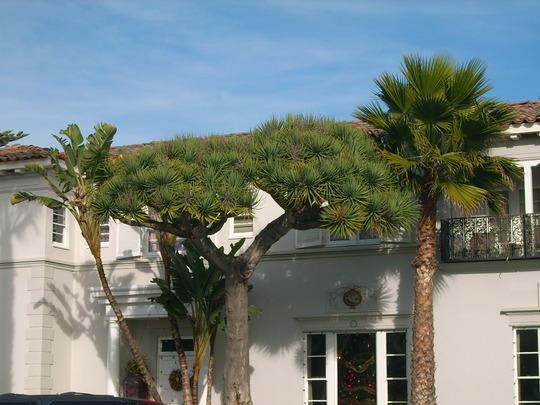 Dracaena draco - Dragon Tree on Coronado Island (Dracaena draco - Dragon Tree)