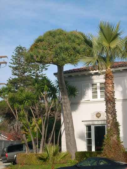 Dracaena draco - Dragon Trees on Coronado Island (Dracaena draco - Dragon Tree)