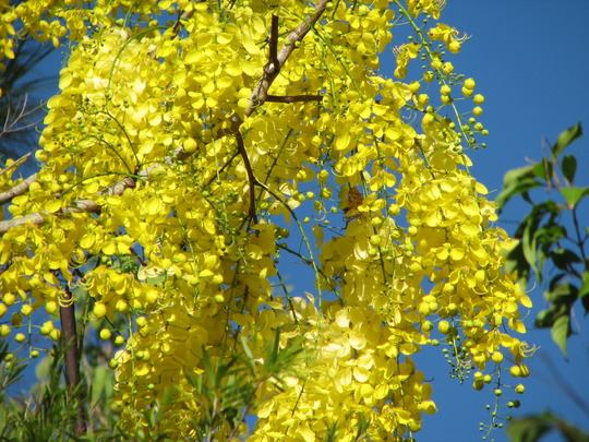 Early summer downunder:  Cassia fistula (Golden Shower Tree) is blooming again! (Cassia fistula (Golden shower tree))