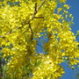 Cassia fistula (Golden shower tree)