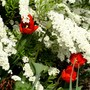 Red tulips peeping through Spirea