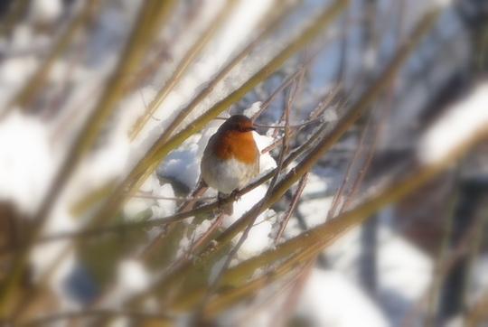 Christmas Robin.